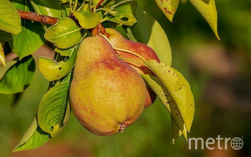 Чем груши полезны для здоровья? Фото Pixabay