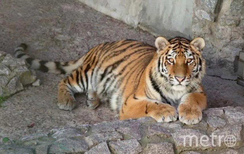 По словам сотрудников зоопарка, тигрица — любопытная, здоровая и активная. Фото пресс-служба Ленинградского зоопарка.