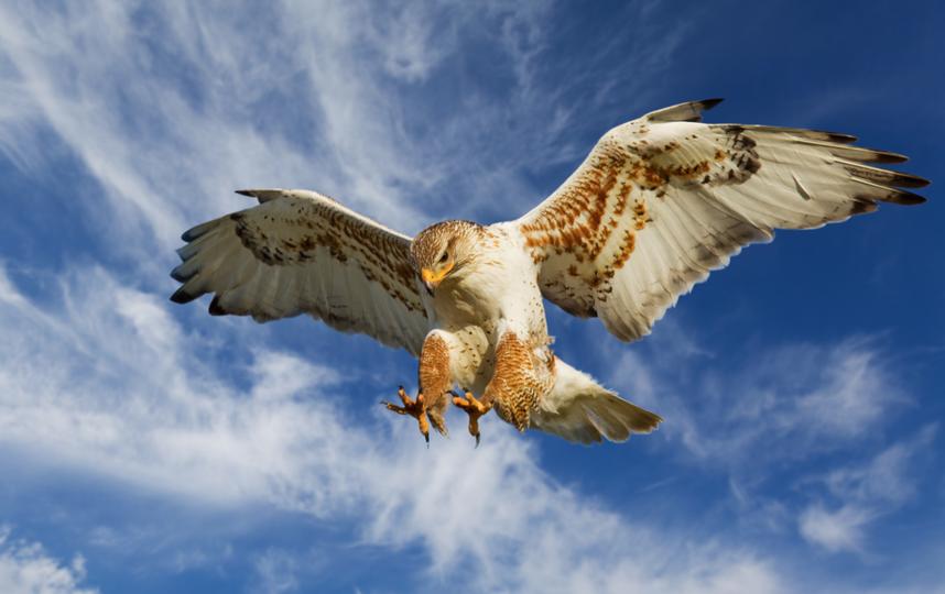 Пернатый хищник - канюк обыкновенный. Фото Depositphotos