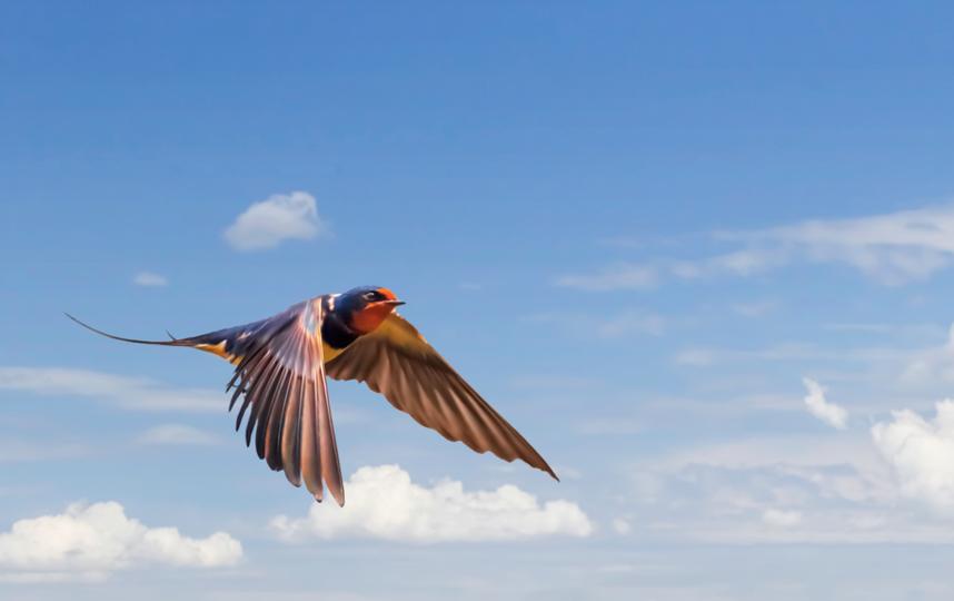 Стрижи, как и все насекомоядные птицы начинают улетать на юг с середины августа. Фото Depositphotos