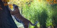 В Приморье амурский тигр загнал грибников на дерево – видео