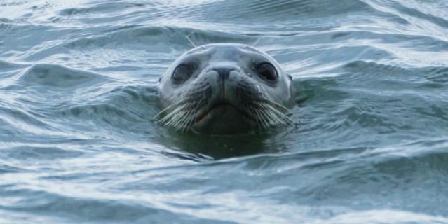 Тюлень релаксирует на озере Буссе.