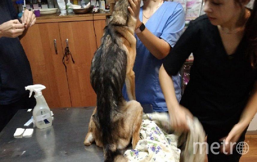Собаке предстоит длительный курс лечения. Фото Предоставлено волонтерами.