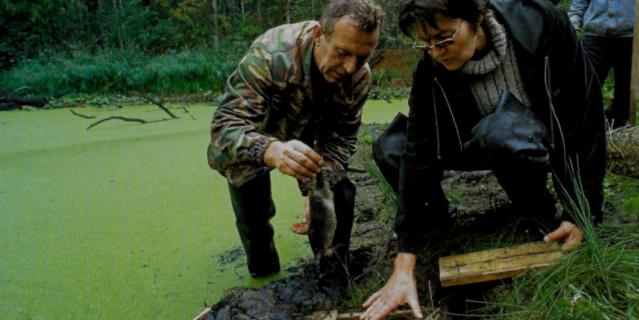 Выхухоль выпускают в искусственную нору в восстановленном месте обитания.