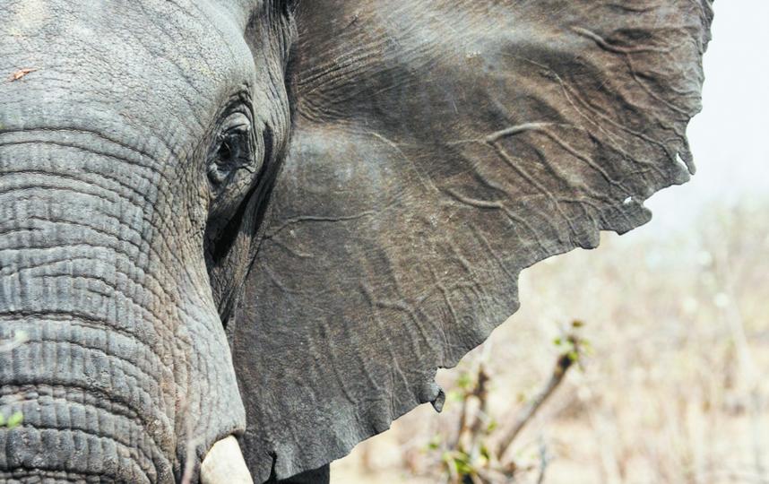 Теплокровные млекопитающие отреагировали на изменение климата увеличением размера некоторых частей тела для регуляции температуры тела. Фото Istock