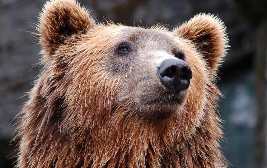 Медведь стал систематически совершать вылазки в город. Фото Pixabay.