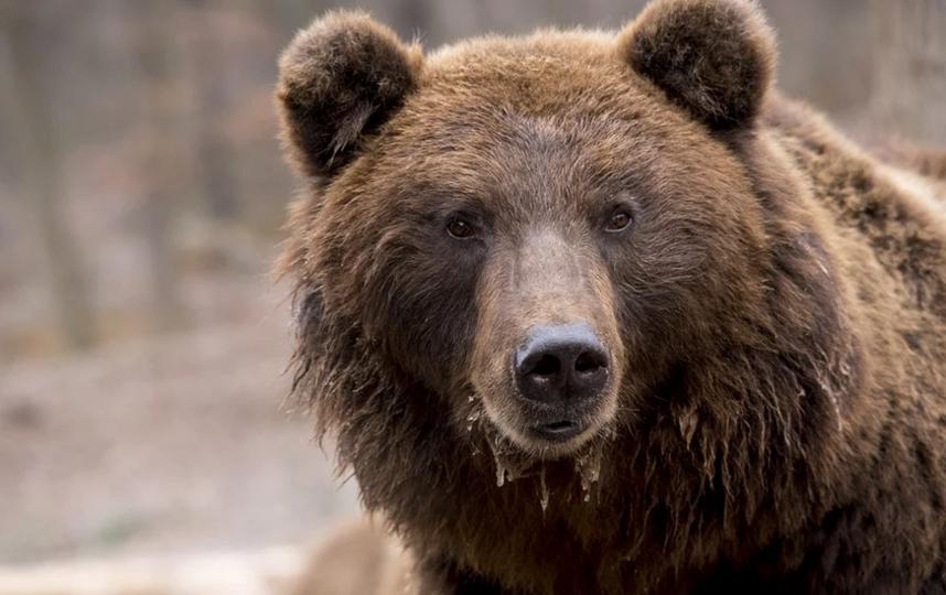 В последнее время медведи в Сочи стали частно появляться в черте города. Фото Pixabay.