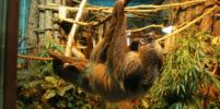 В свой праздник ленивцы развеяли стереотип о лени