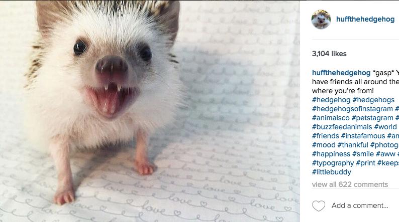 скриншот/Instagram/ huffthehedgehog.