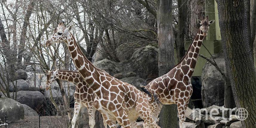 предоставлено Brookfield Zoo.