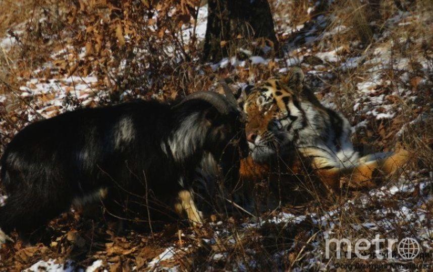 Тимур и Амур Фото: Приморский сафари-парк Дмитрий Мезенцев.