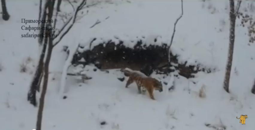 скриншот видео официального канала Приморского сафари-парка.