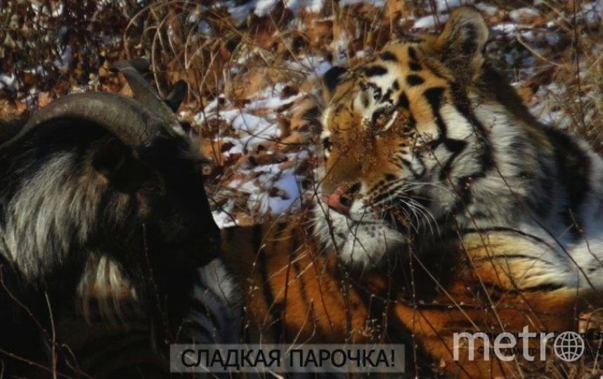 Все приморский Сафари-парк, фото Дмитрия Мезенцева.