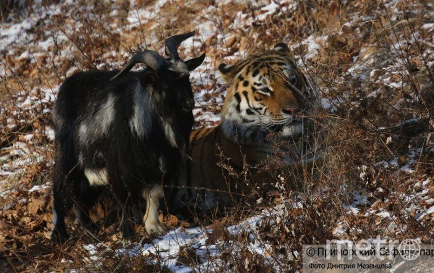 Все фото: приморский Сафари-парк, фото Дмитрия Мезенцева.