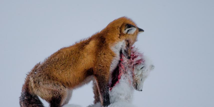 Don Gutoski/Wildlife Photographer of the Year 2015.