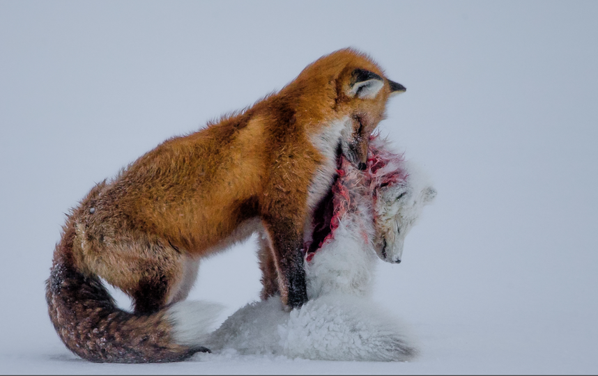 Don Gutoski/Wildlife Photographer of the Year 2015.