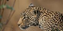 В Индии леопард застрял в горшке