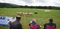 В Англии выберут лучшую пастушью собаку