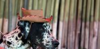 Шоу собачьих костюмов в Сальвадоре: животные надели рожки и бантики