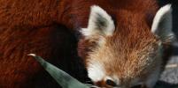 В Зоопарке Турина обживаются две новые красные панды