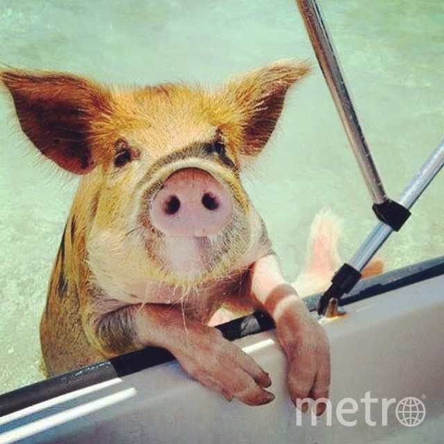 @theswimmingpigs.