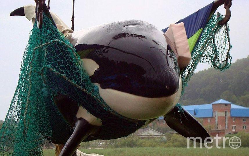 фото предоставлено общественной организацией Russian Orcas.