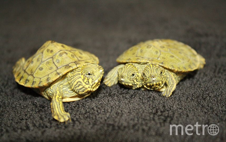 Three headed turtle
