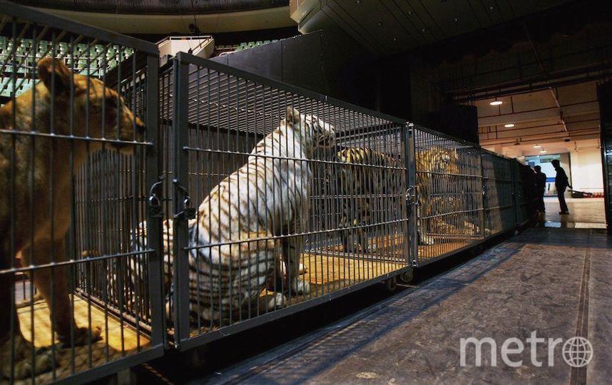 Тигры. Фото Getty