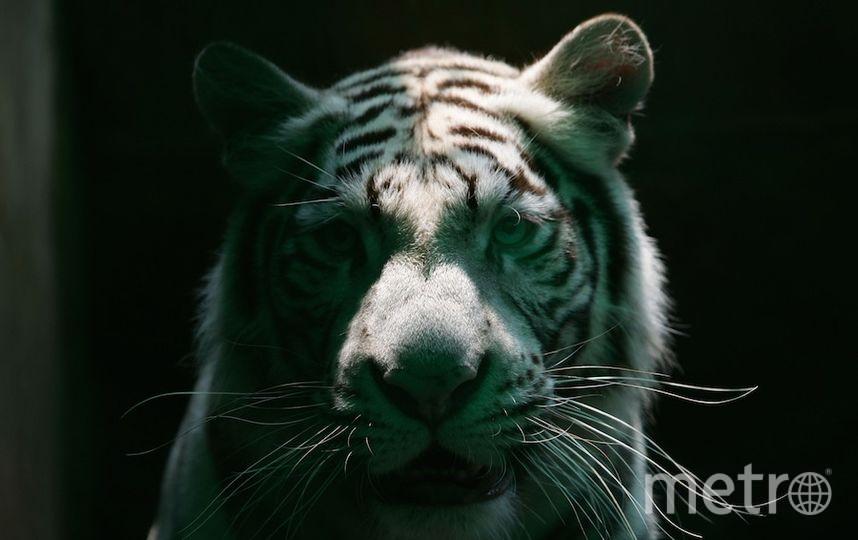 Белый тигр покусал дрессировщика цирка. Фото Getty