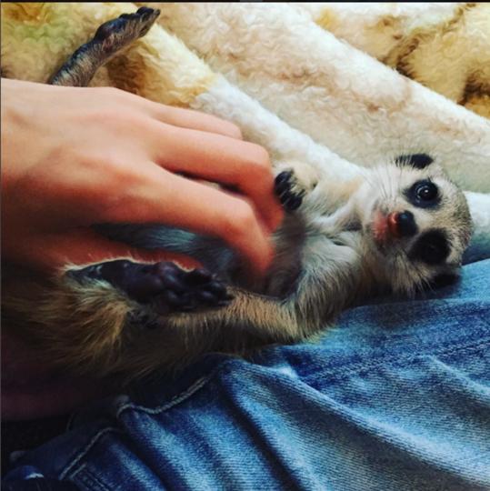 Сёма. Фото Скриншот Instagram/meerkat_sema