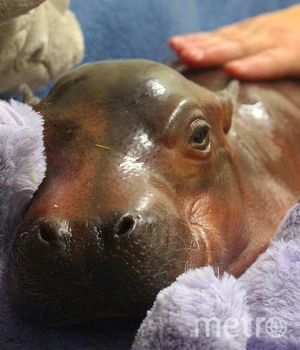 Новорожденный бегемотик Фиона заставила пользователей Сети умилиться. Фото Скриншот/Instagram:cincinnatizoo