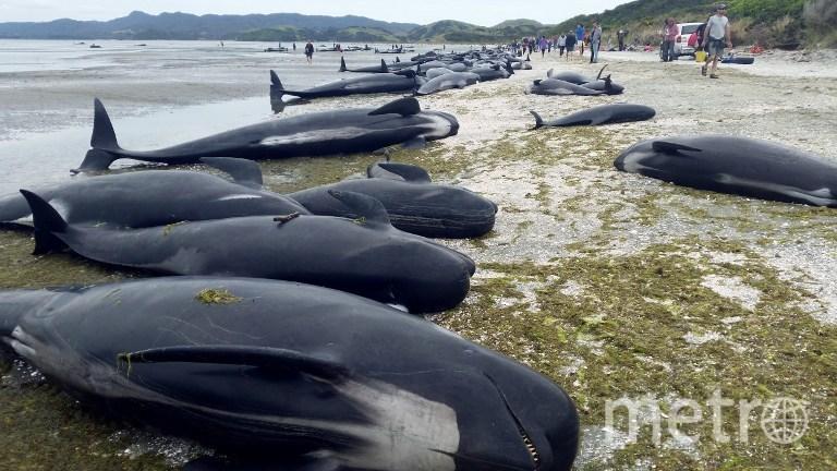 Выбросившиеся дельфины в Новой Зеландии. Фото AFP