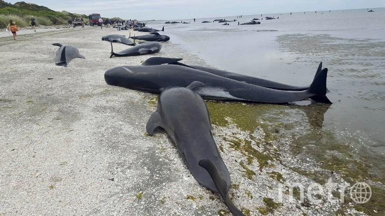 Дельфины выбросились на берег Новой Зеландии. Фото AFP