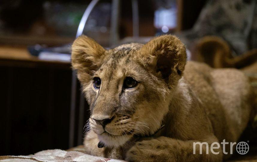 Член льва проникает в львицу фото 167-411