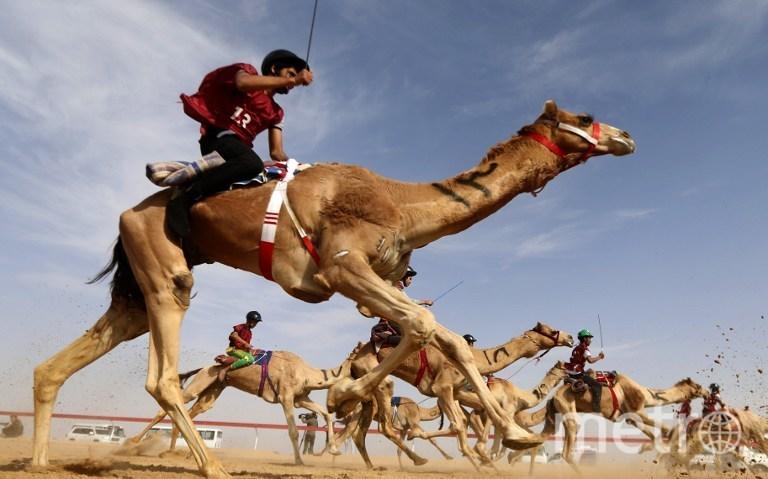 Гонки на верблюдах в Абу-Даби. Фото AFP