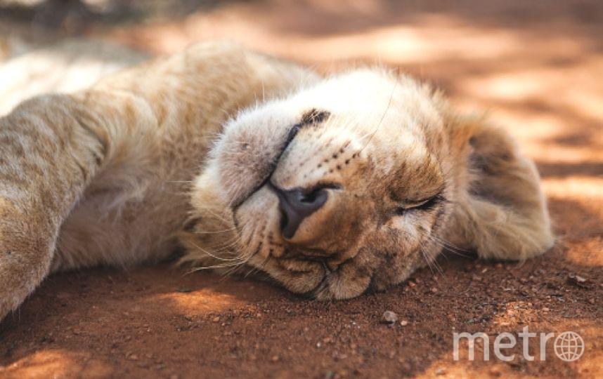 Лев. Фото Getty