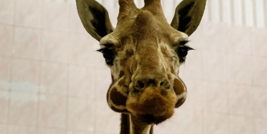 """Жирафиха Луга умерла в Ленинградском зоопарке, ей было 35 лет. Фото """"Metro"""""""