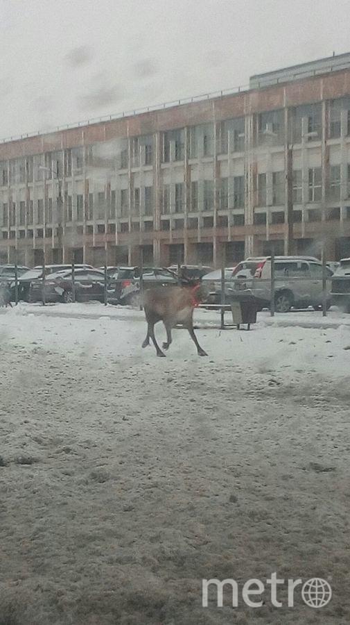 В Петербурге полицейские гнались за гулявшим по городу оленем. Фото «ДТП и ЧП | Санкт-Петербург», vk.com