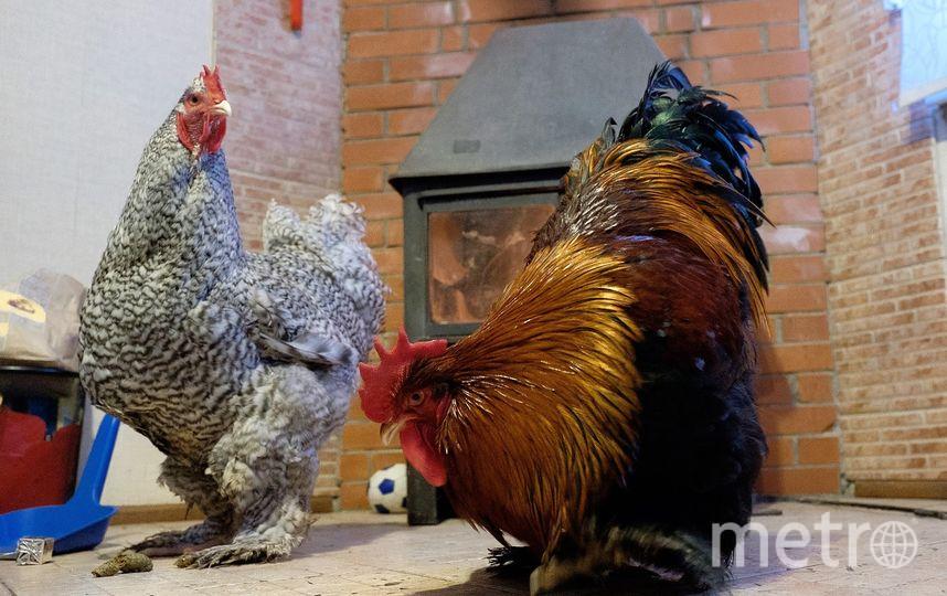 """У петухов оперенье всегда ярче, чем у куриц. Фото Алена Бобрович., """"Metro"""""""