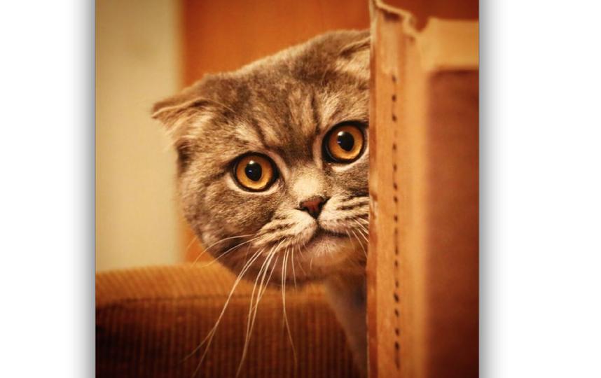 Хотим выставить на фотоконкурс своего любимого кота по имени МАКС, ему 3 года! Он очень веселый, любит смотреть с нами фильмы, кушать с нами и спать! Жуткий баловник, но не смотря на это, он самый добрый кот в мире! Фото Александра Асова