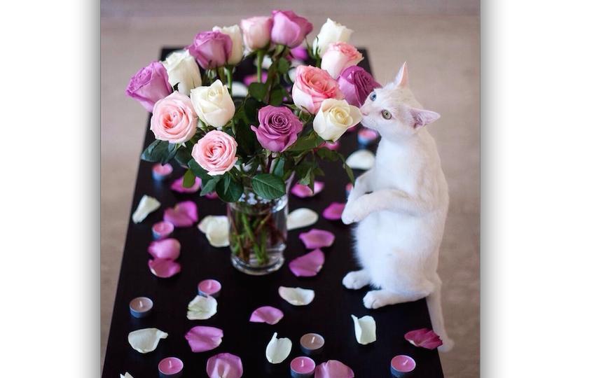 Нашего котика зовут Остин. 14 февраля ему исполнилось 2 года. Он белого цвета, породы Турецкая ангора, и у него разные глаза. Когда Остину что-то нужно, он встаёт на задние лапки и просит. Также он очень любит цветы, он их не ест, как другие кошки, а нюхает. Фото Татьяна