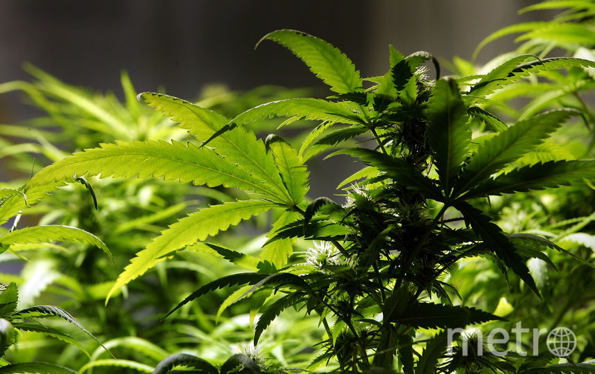 Сырая марихуана. Фото Getty