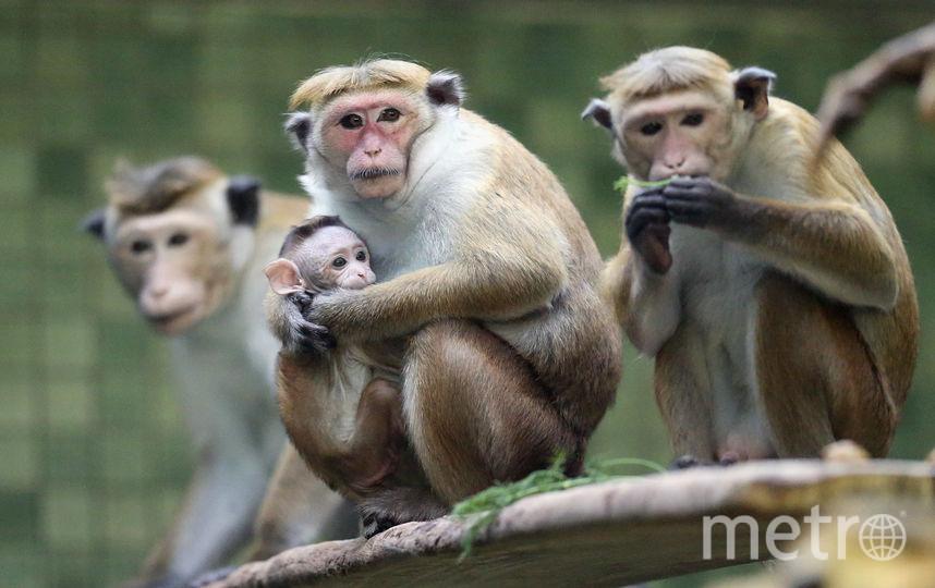 Макаки в зоопарке (архивное фото). Фото Getty
