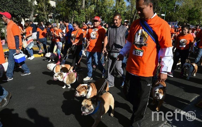 Парад бульдогов в Мехико. Фото AFP