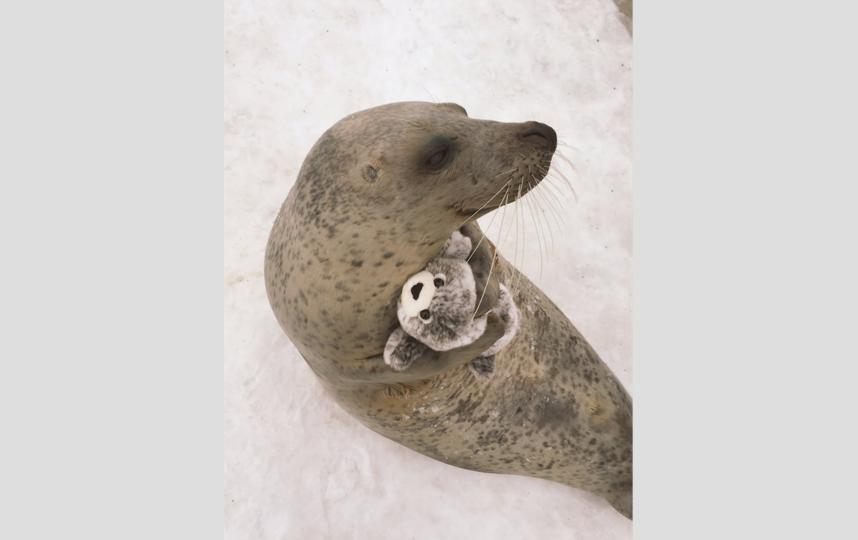 Радостный тюлень. Фото Twitter @mombetsu_land.