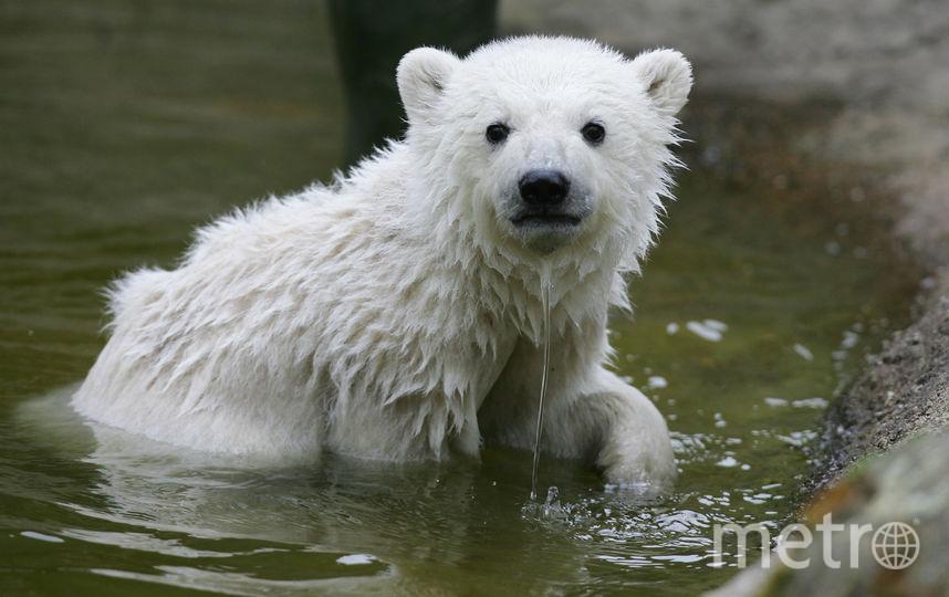Полярный медвежонок. Фото Getty