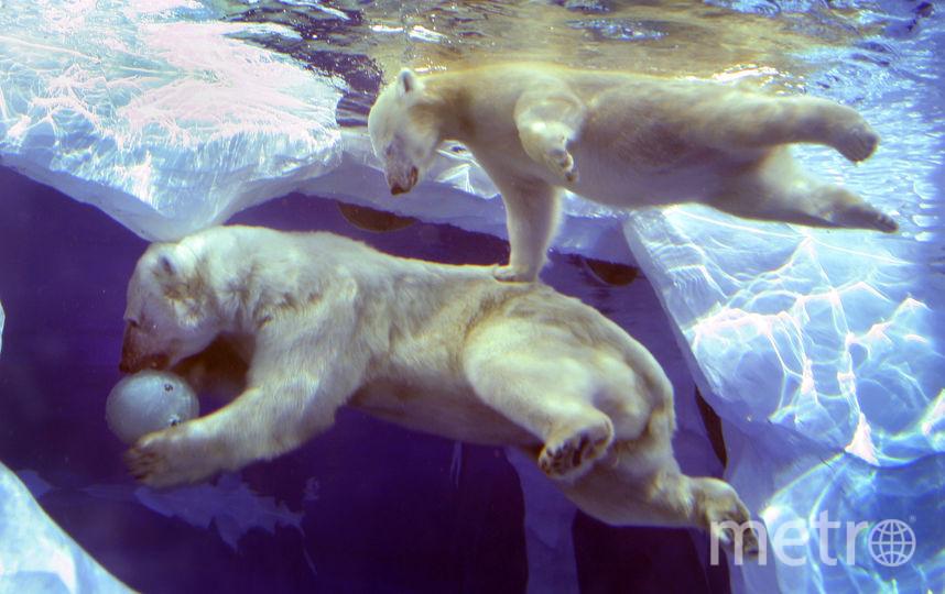 Полярные медведи. Фото Getty