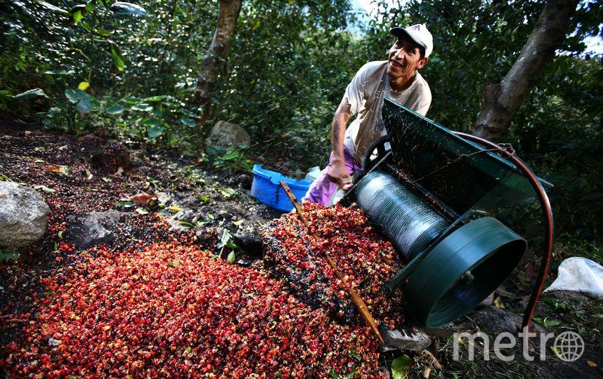 Обработка кофейных зёрен. Фото Getty