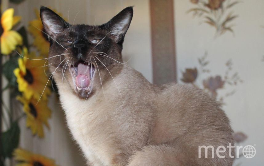 """Котика, ласковей нашего Яши, вы никогда не встретите: никаких когтей, только мурлыканье. А зевает - загляденье.  Елена Кочетова. Фото """"Metro"""""""