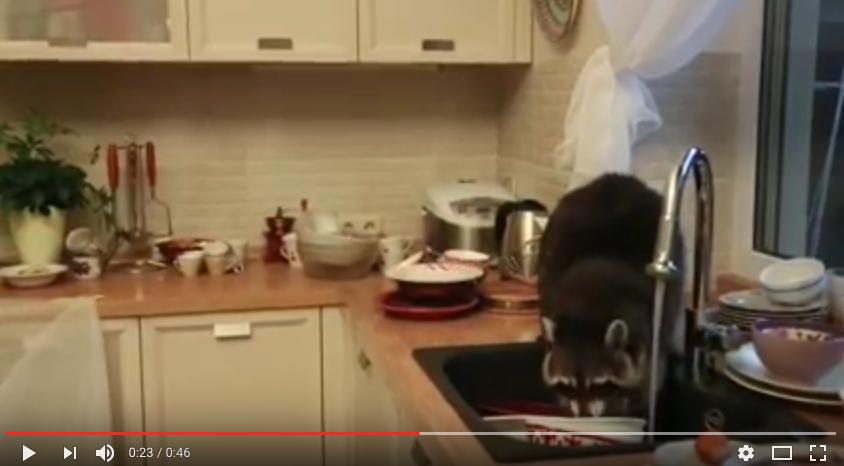 Енот моет посуду. Фото скриншот с канала X- REY на YouTube